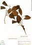 Couratari multiflora Eyma, Venezuela, L. Marcano-Berti 226, F