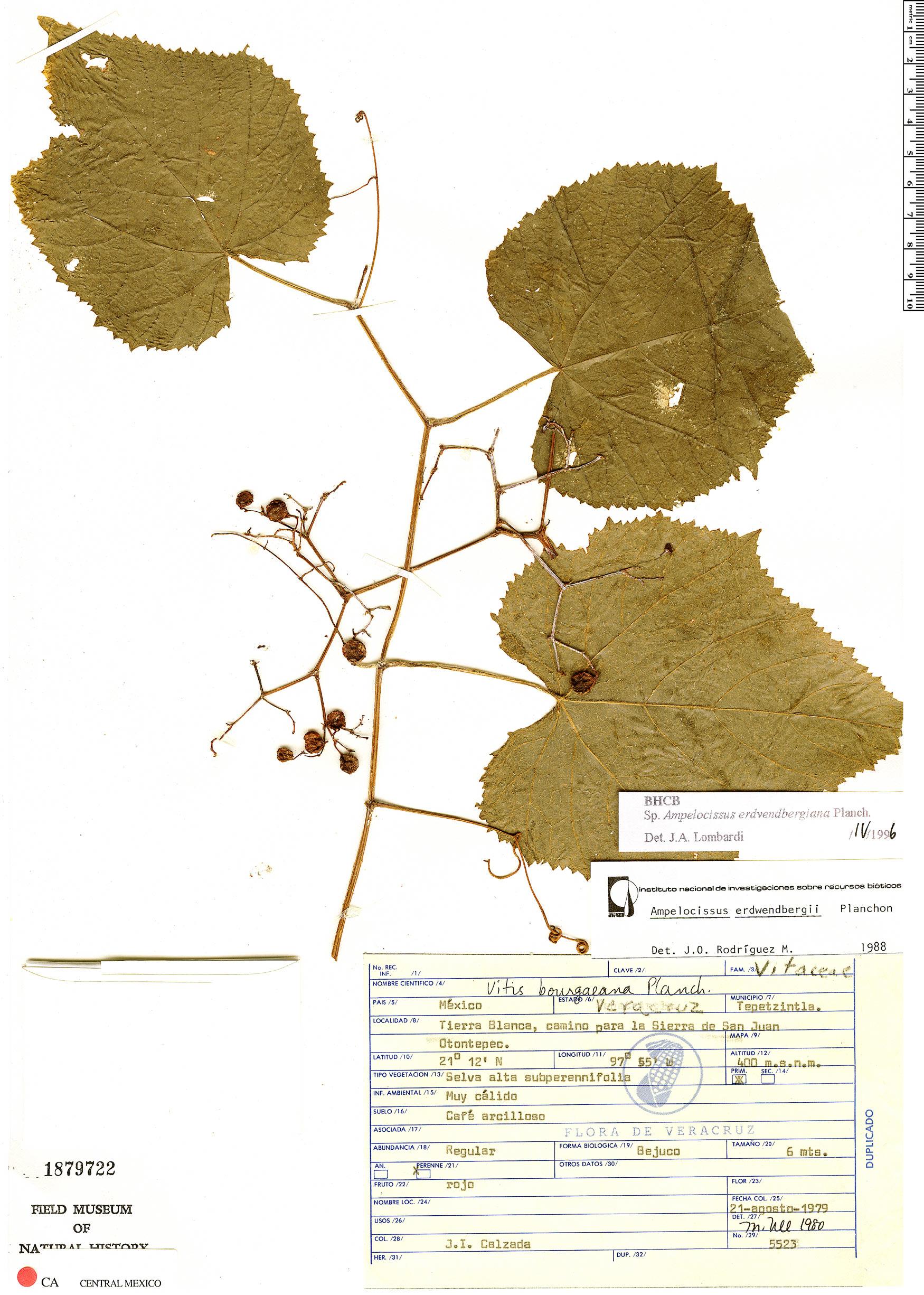 Ampelocissus image