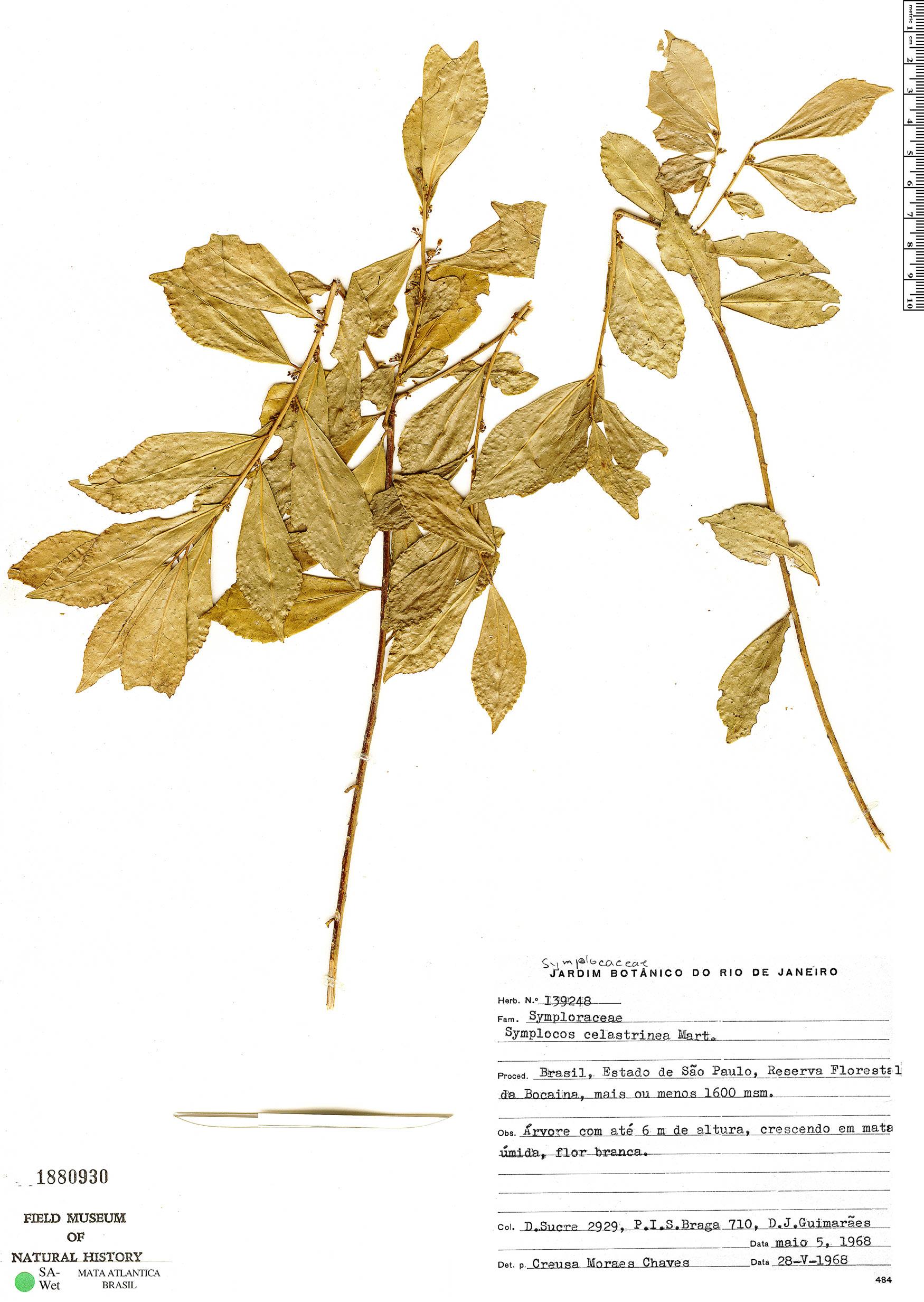 Specimen: Symplocos celastrinea