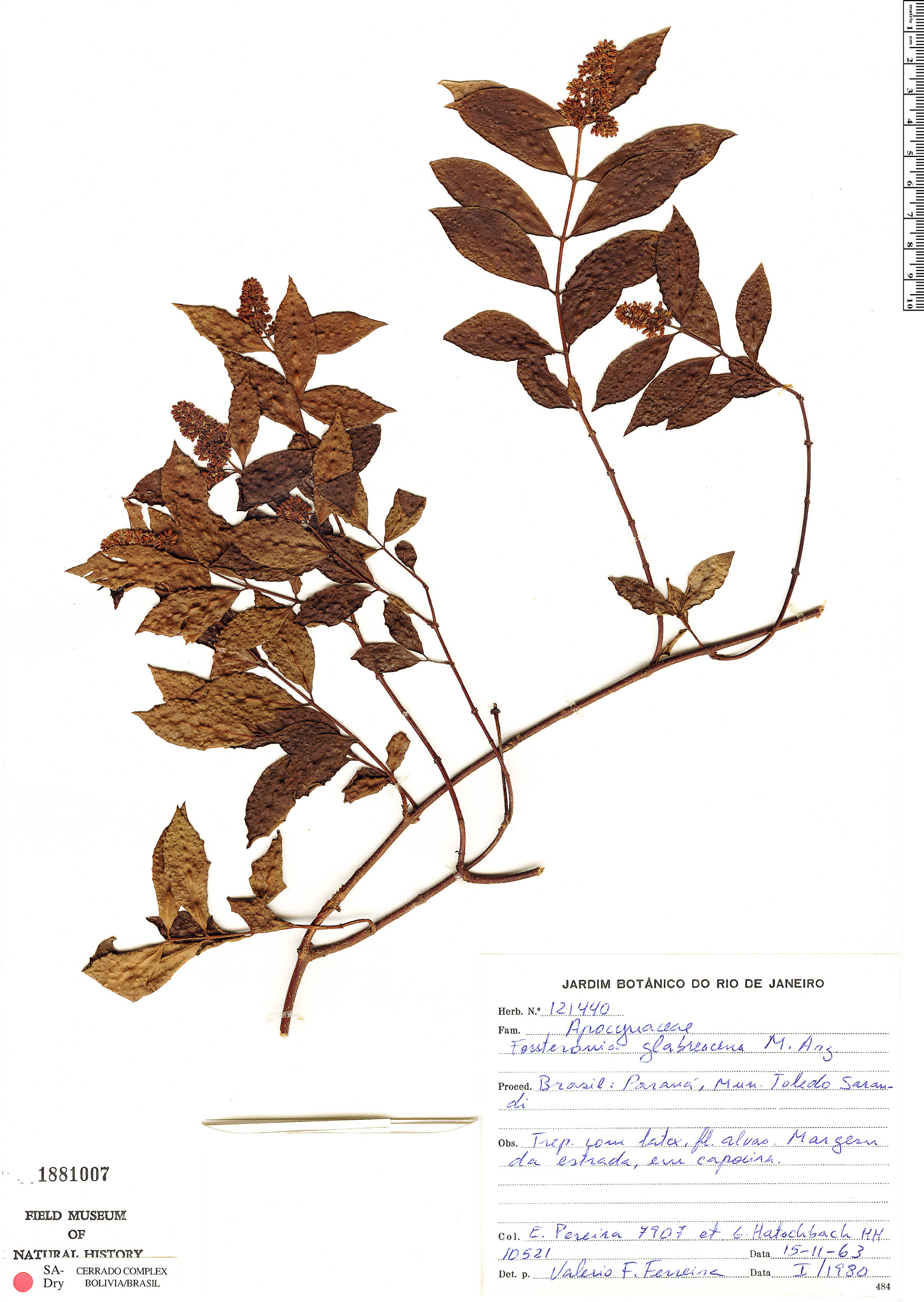 Specimen: Forsteronia glabrescens
