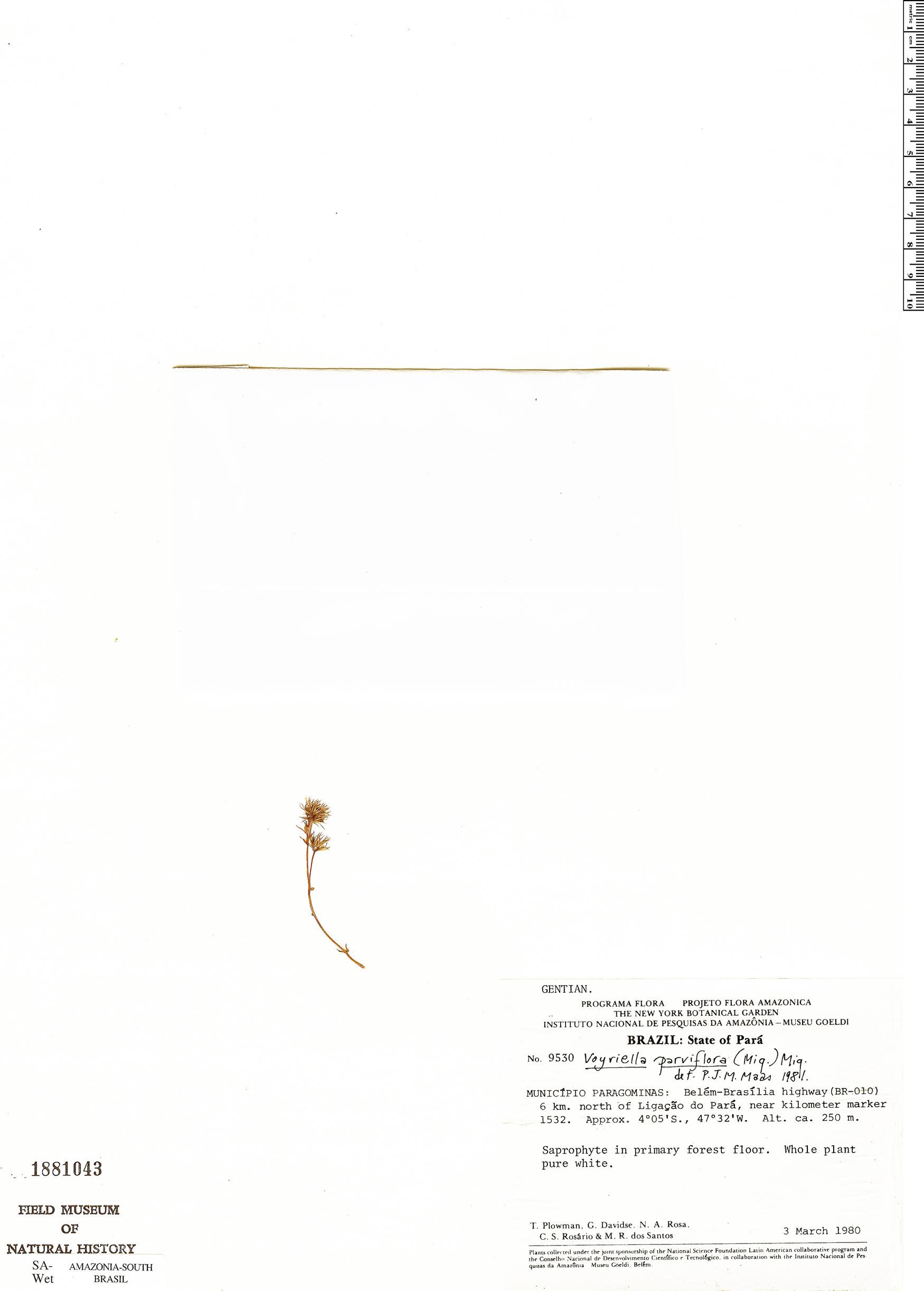 Specimen: Voyriella parviflora