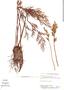 Ceratopteris thalictroides (L.) Brongn., Brazil, D. F. Austin 7193, F