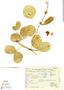 Canavalia rosea (Sw.) DC., Mexico, J. I. Calzada 3673, F