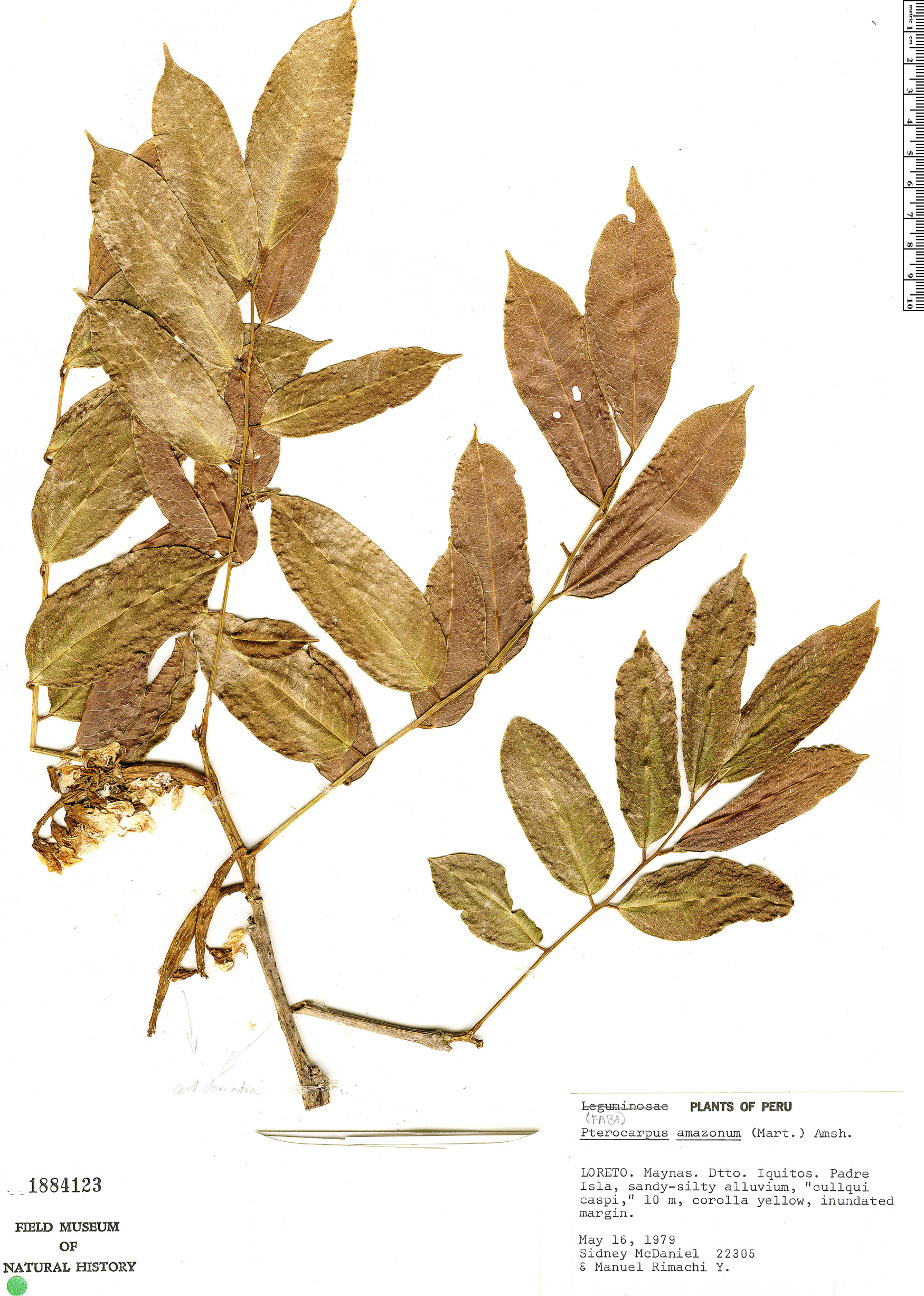 Specimen: Pterocarpus amazonum