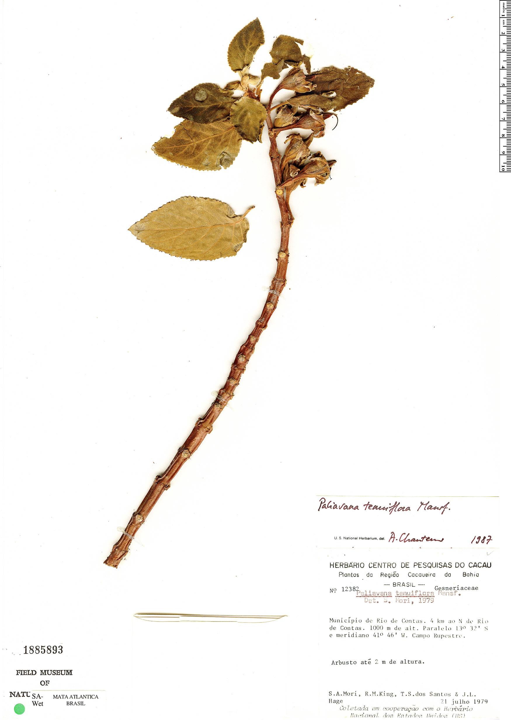 Specimen: Paliavana tenuiflora