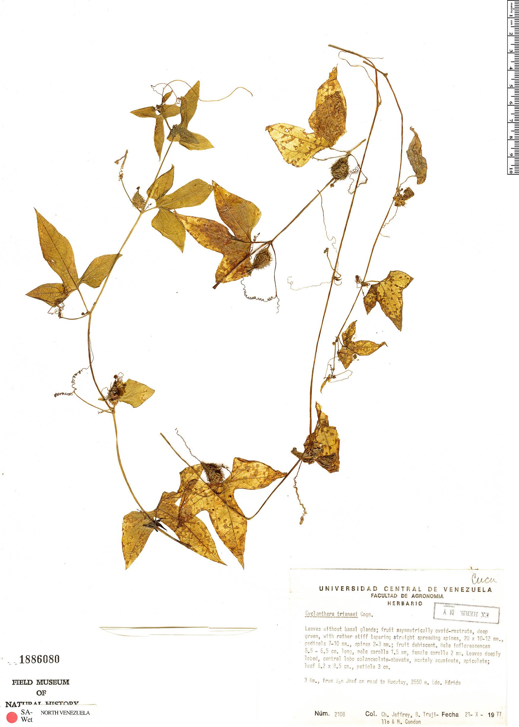 Specimen: Cyclanthera trianaei