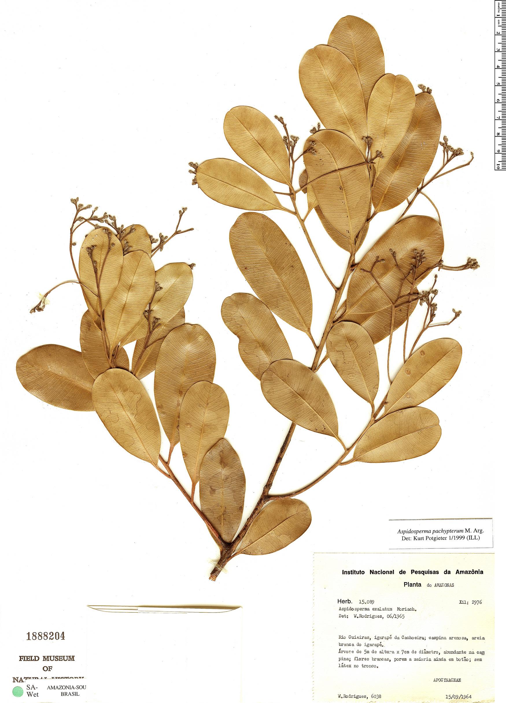 Specimen: Aspidosperma pachypterum