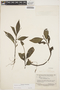 Peperomia alata Ruíz & Pav., SURINAME, B. Maguire 24757, F