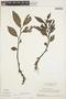 Peperomia alata Ruíz & Pav., SURINAME, H. S. Irwin 54786, F