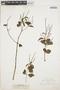Peperomia blanda (Jacq.) Kunth, ARGENTINA, G. Hieronymus, F