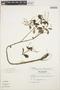 Peperomia blanda (Jacq.) Kunth, ECUADOR, L. B. Holm-Nielsen 3176, F