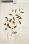 Peperomia blanda (Jacq.) Kunth, BRAZIL, H. L. de Mello Barreto 7234, F