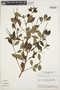 Peperomia blanda (Jacq.) Kunth, BRAZIL, H. S. Irwin 15885, F