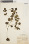 Peperomia blanda (Jacq.) Kunth, ARGENTINA, E. L. Ekman 1234, F