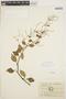 Peperomia blanda (Jacq.) Kunth, ECUADOR, M. Acosta Solis 7054, F