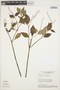 Peperomia blanda (Jacq.) Kunth, BRAZIL, H. S. Irwin 18216, F