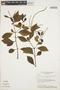 Peperomia blanda (Jacq.) Kunth, BRAZIL, H. S. Irwin 18289, F