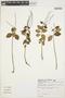 Peperomia blanda (Jacq.) Kunth, BRAZIL, F. C. Hoehne, F