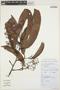 Ocotea costulata (Nees) Mez, Peru, C. Bazán V. 3, F