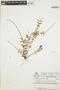 Peperomia galioides image