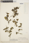 Peperomia pellucida (L.) Kunth, VENEZUELA, Ll. Williams 10402, F