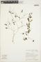 Peperomia pellucida (L.) Kunth, BRAZIL, L. O. A. Teixeira 837, F