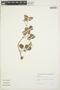 Peperomia pellucida (L.) Kunth, COLOMBIA, C. de Elso, F