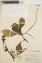 Peperomia obtusifolia (L.) A. Dietr., COLOMBIA, J. Cuatrecasas 15406, F