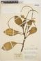 Peperomia obtusifolia (L.) A. Dietr., COLOMBIA, J. Cuatrecasas 15016, F