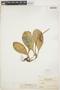 Peperomia obtusifolia (L.) A. Dietr., BOLIVIA, 1328, F