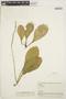 Peperomia obtusifolia (L.) A. Dietr., BOLIVIA, B. A. Krukoff 10615, F
