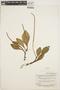 Peperomia obtusifolia (L.) A. Dietr., BRITISH GUIANA [Guyana], B. Maguire 23522, F
