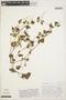 Peperomia pellucida (L.) Kunth, COLOMBIA, W. S. Alverson 368, F