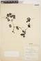 Peperomia pellucida (L.) Kunth, COLOMBIA, R. Romero Castañeda 2884, F
