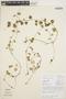 Peperomia pellucida (L.) Kunth, COLOMBIA, J. S. Denslow 2303, F