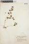 Peperomia pellucida (L.) Kunth, COLOMBIA, A. G. Peña V. 26, F
