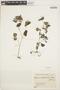 Peperomia pellucida (L.) Kunth, COLOMBIA, K. von Sneidern 5009, F