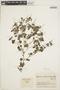 Peperomia pellucida (L.) Kunth, COLOMBIA, J. Cuatrecasas 21105, F