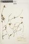 Peperomia pellucida (L.) Kunth, COLOMBIA, J. Cuatrecasas 4198, F