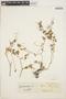 Peperomia pellucida (L.) Kunth, COLOMBIA, J. Cuatrecasas 3735, F