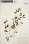 Peperomia pellucida (L.) Kunth, ECUADOR, M. Acosta Solis 13894, F