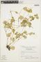 Peperomia pellucida (L.) Kunth, ECUADOR, L. B. Holm-Nielsen 2757, F