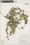 Peperomia pellucida (L.) Kunth, ECUADOR, C. H. Dodson 9747, F