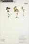 Peperomia pellucida (L.) Kunth, GUYANA, L. P. Kvist 234, F