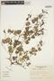 Peperomia pellucida (L.) Kunth, BOLIVIA, A. Krapovickas 35174, F
