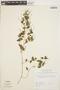 Peperomia pellucida (L.) Kunth, BRAZIL, P. J. M. Maas 336, F