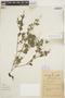 Peperomia pellucida (L.) Kunth, BRAZIL, B. J. Pickel 23081931, F