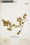 Peperomia pellucida (L.) Kunth, VENEZUELA, H. H. Rusby 101, F