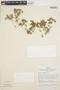Peperomia pellucida (L.) Kunth, PERU, J. Schunke Vigo 4125, F