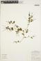 Peperomia pellucida (L.) Kunth, PERU, F. G. Seidenschwarz 270/1, F